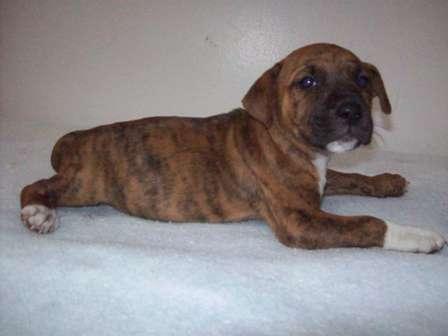 Boxer hound mix?-fl696.19372604-3-x.jpg