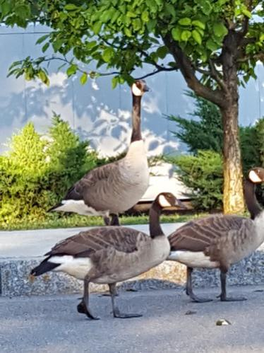 Backyard Wildlife-geese.jpg