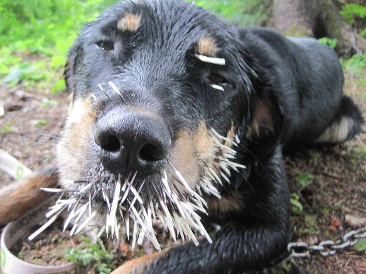 Dog Vs. porcupine!!-ha.jpg