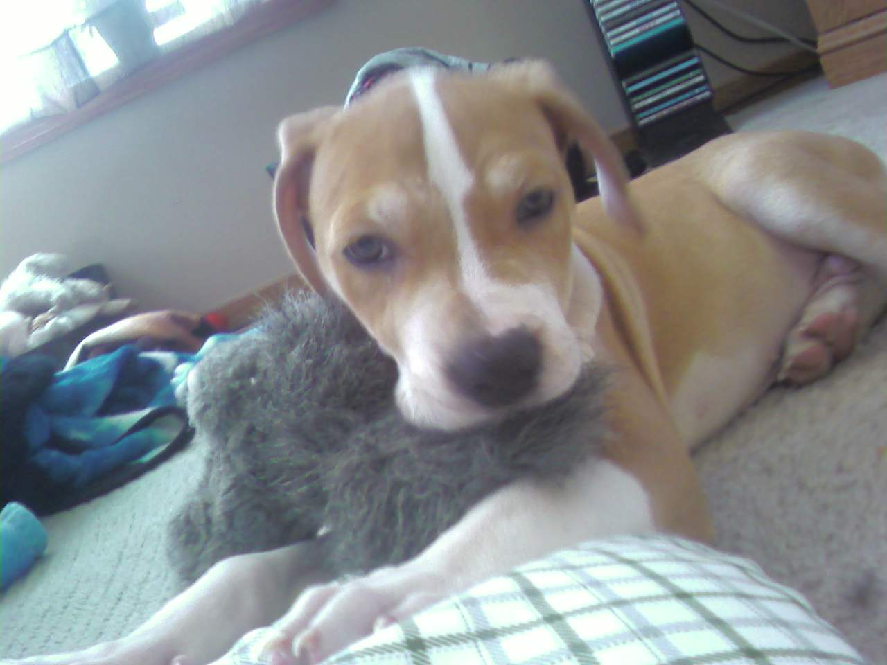 American Bulldog Mixed With Pitbull Puppies For Sale Images & Pictures ...