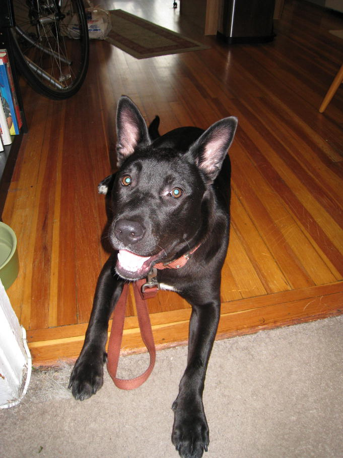 Terrier Lab Mix Breeds Breed (lab/terrier mix)