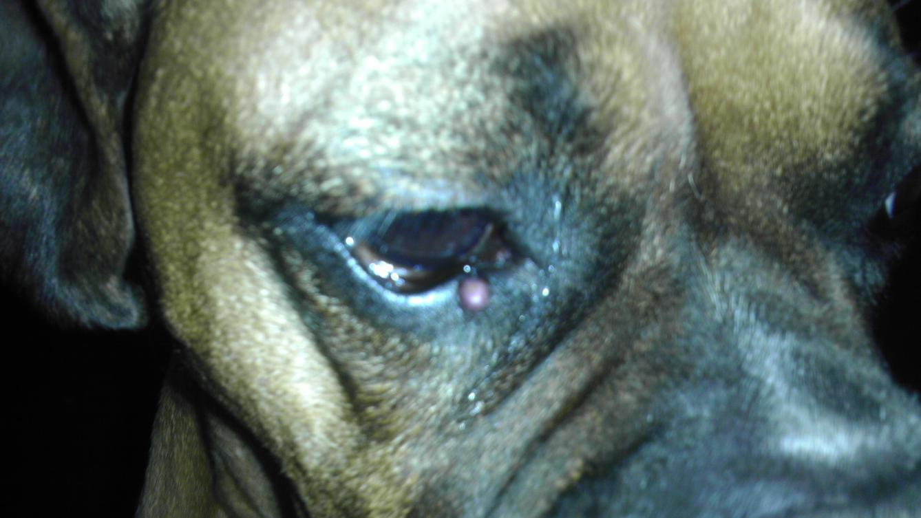 Boxer has pimple like bump right below eye-imag0975.jpg