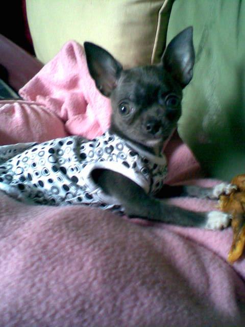 Apple head Chihuahua-image012spicedressy.jpg