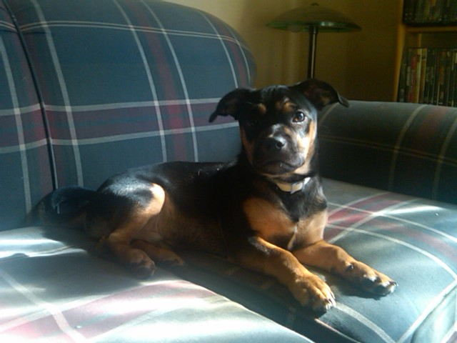 Quot Euro Russell Quot Or Black And Tan Russell Terrier Real Or