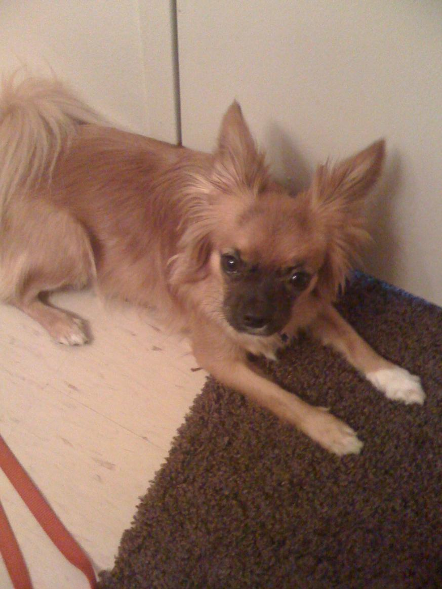 First time dog owner - Papillon-pug hybrid-img_0004.jpg