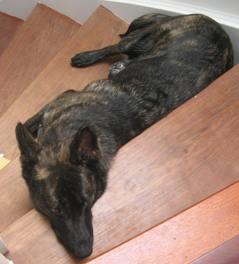 Question about my german shepherd-img_0021.jpg