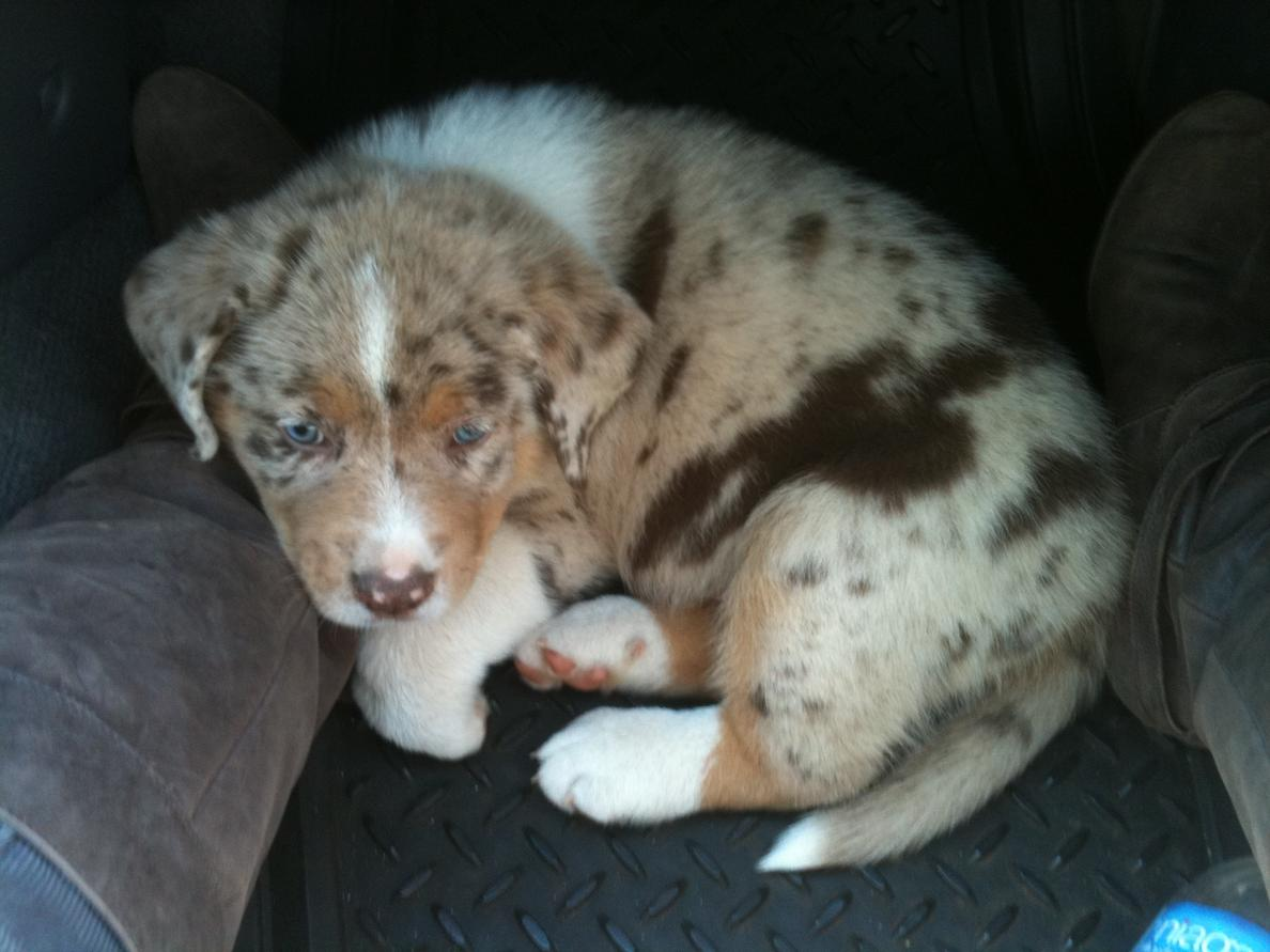 Australian Shepherd Chocolate Lab Mix Puppy Images & Pictures - Becuo