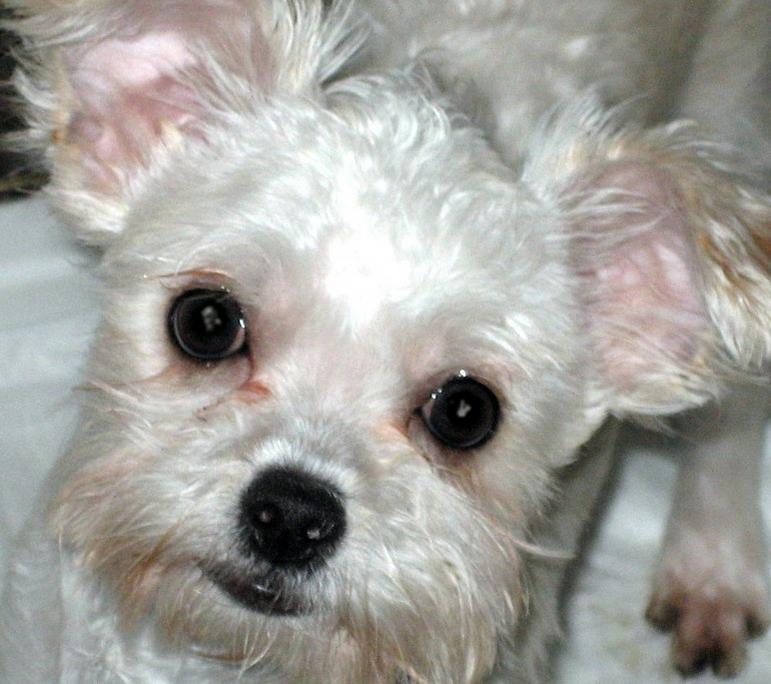 13 week old Shih Tzu / Chihuahua mix - ?s!-img_0356.jpg