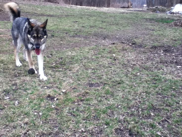 Husky/Wolf Hybrid or Husky/Shepherd mix???-img_0546.jpg