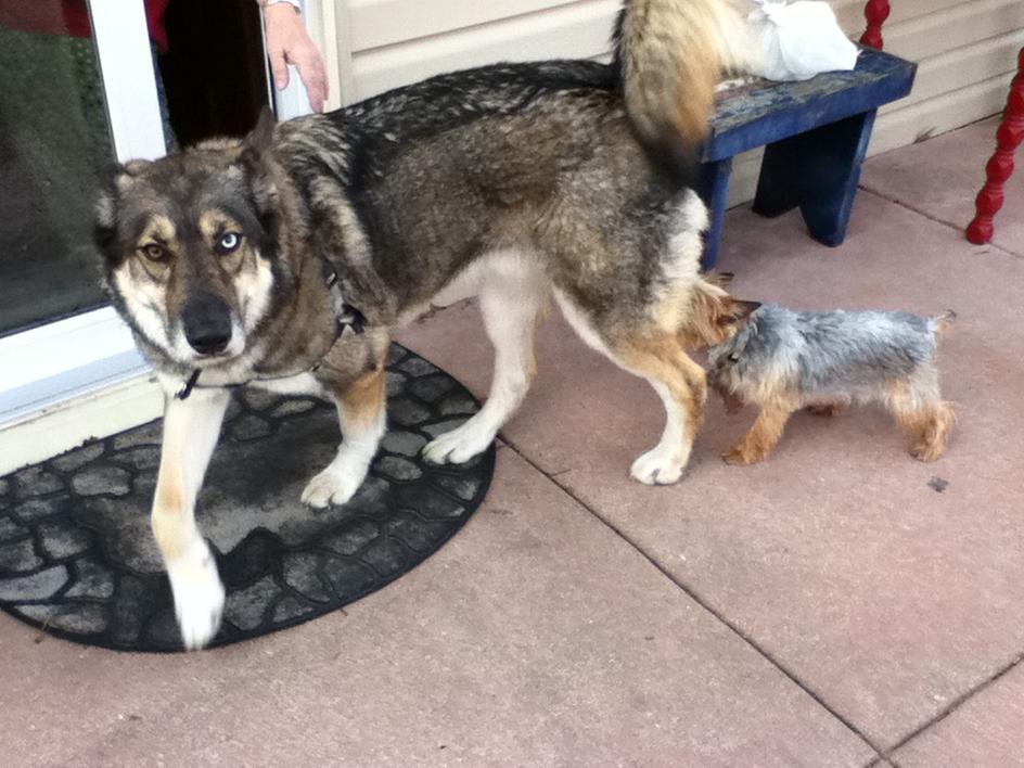 Husky And Wolf Mix Puppies Our Wolfy Malamute Mix Pup Aww Siberian