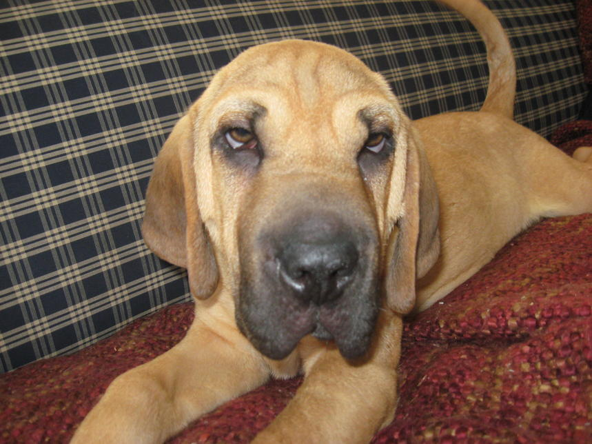 Bloodhound Mix A bloodhound and a shar-pei
