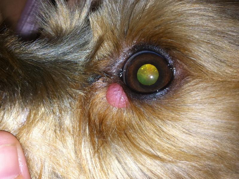swollen bump under my yorkie s eye