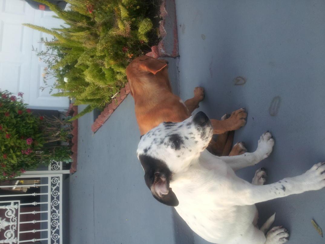 American bulldog pitbull mix?-img_20120731_190351.jpg