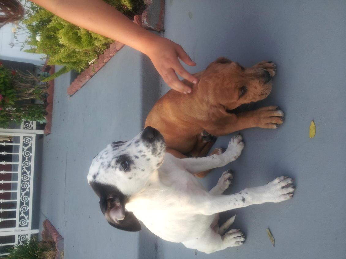 American bulldog pitbull mix?-img_20120731_190355.jpg