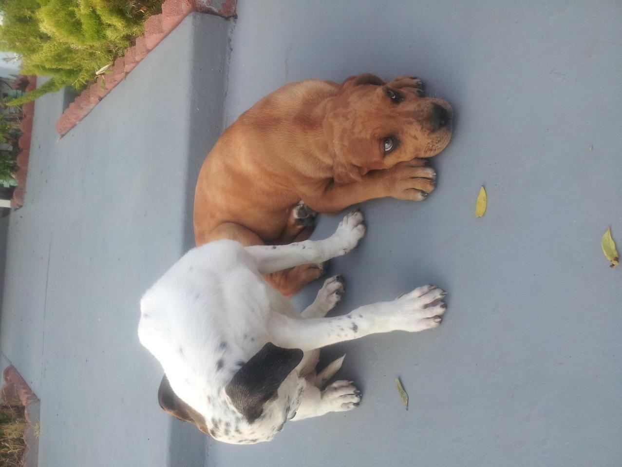 American bulldog pitbull mix?-img_20120731_190358.jpg