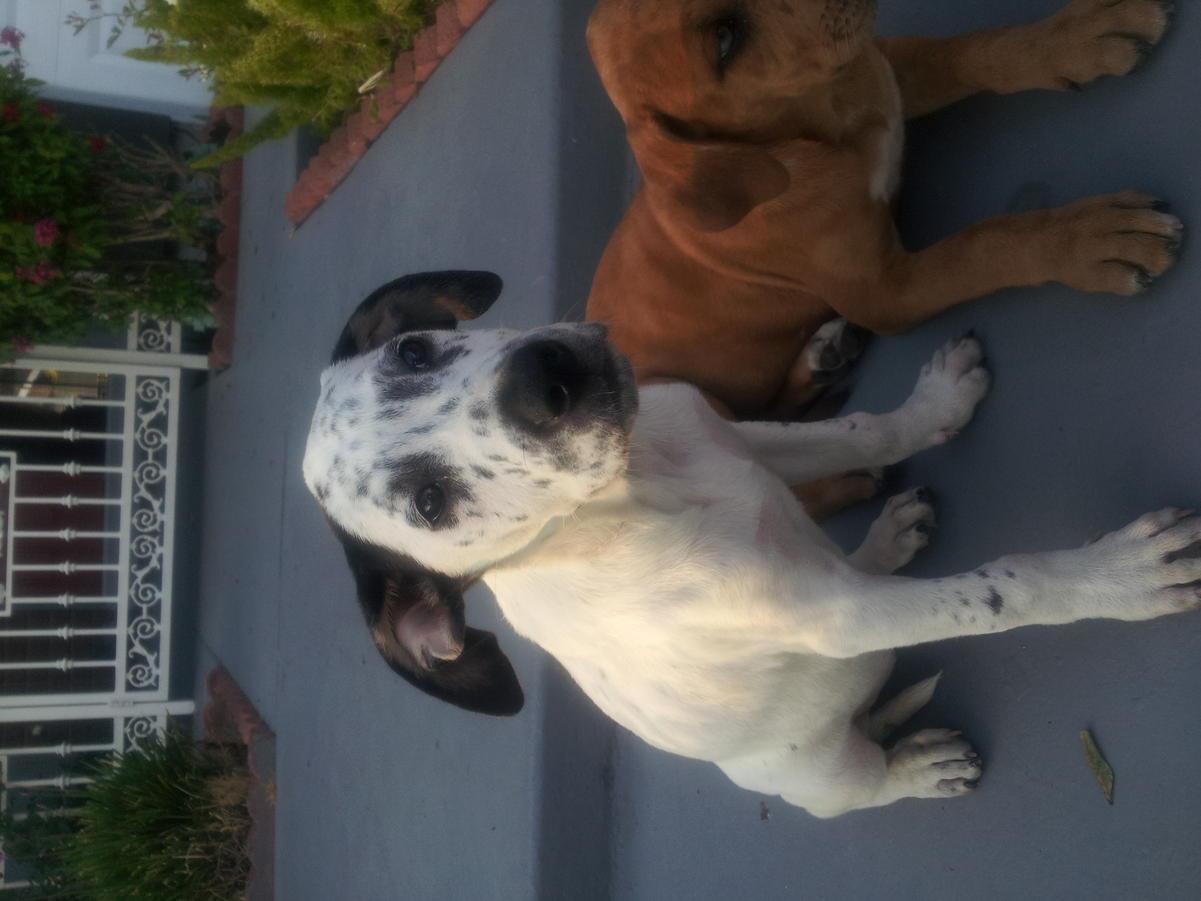 American bulldog pitbull mix?-img_20120731_190404.jpg