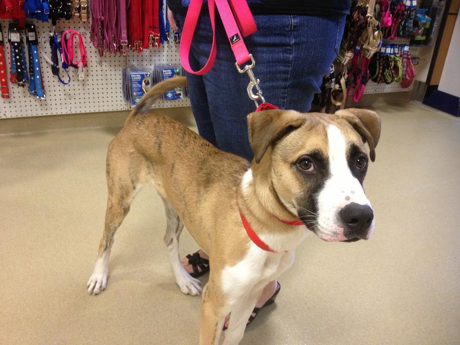 Greyhound Dog Adoption Ontario