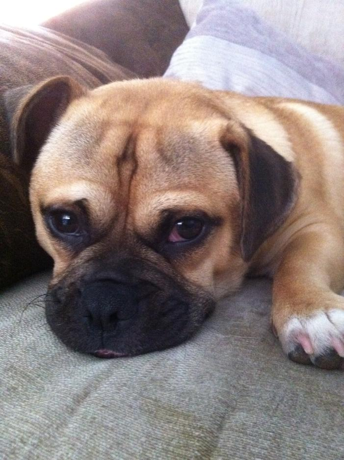 French Bulldog Mix Breeds Pictures Photos Pics Images Gallery | Dog ...
