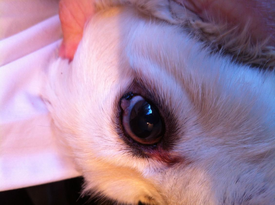 Pictures Of A Stye In A Dog S Eye