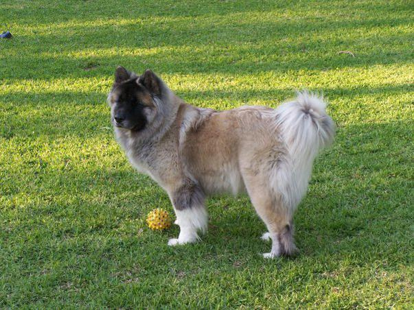 Long Haired Akita?