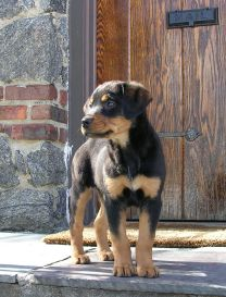 BULLTERRIER Or ROTTWEILER - Terrier and rottweiler