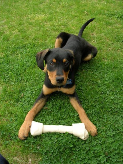 Mixed Breed Puppy- what do you think this is???  Doberman? Rottweiler? Labrador?-lexi-bone.jpg