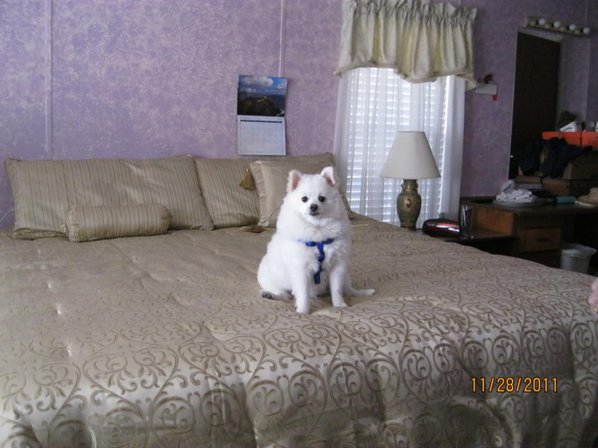 Pomeranian's Size and weight?-logan-2011-1.jpg