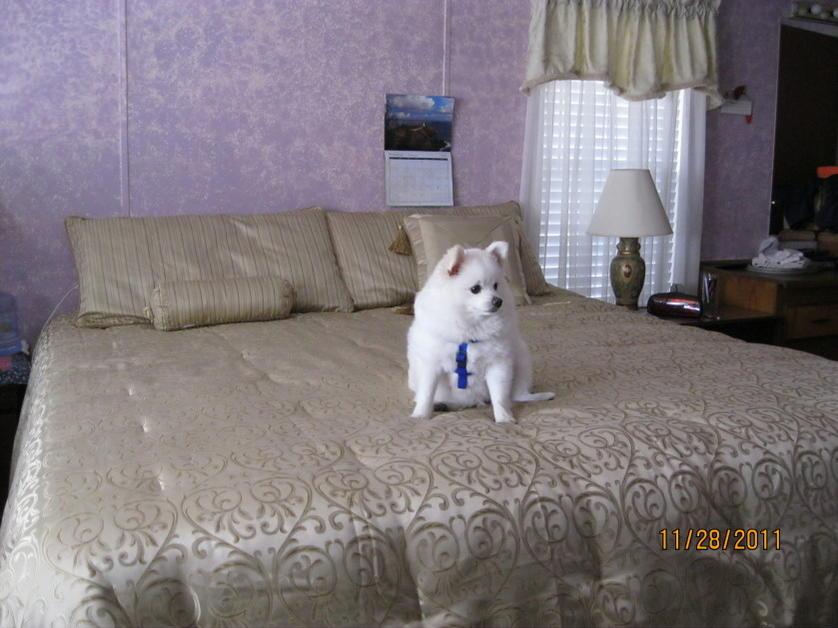 Pomeranian s Size and Pomeranian 10 Lbs