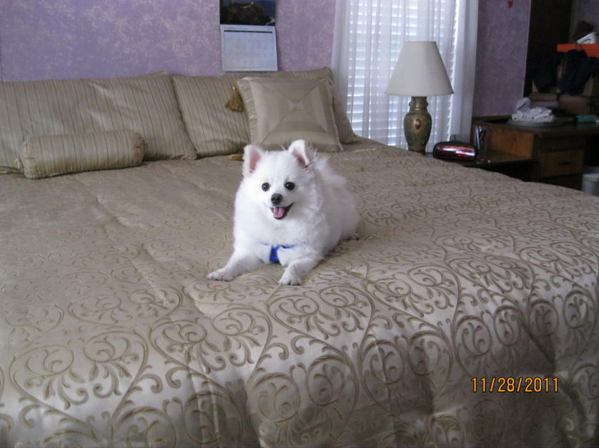 Pomeranian's Size and weight?-logan-2011-3.jpg