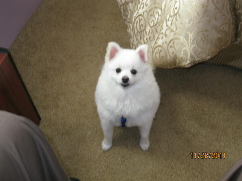 Pomeranian's Size and weight?-logan-2011-5.jpg