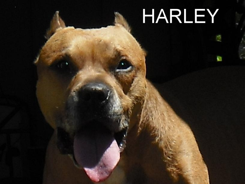 Is your dog(s) prematurely grey?-maddog_harley.jpg