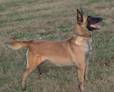 Is this a Belgian Malinois?-mal.jpg