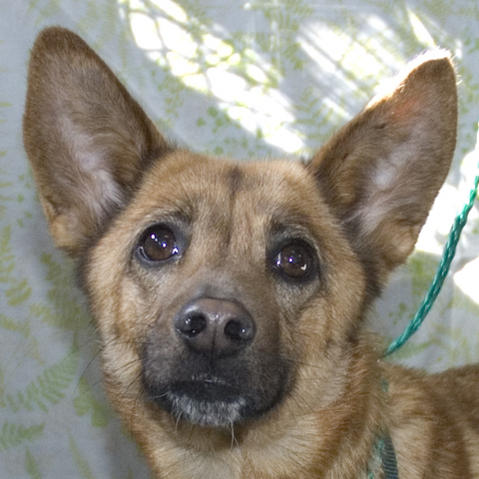 Reyna looks like a fox- What breeds could she be?-mi520.16572114-1-x.jpg