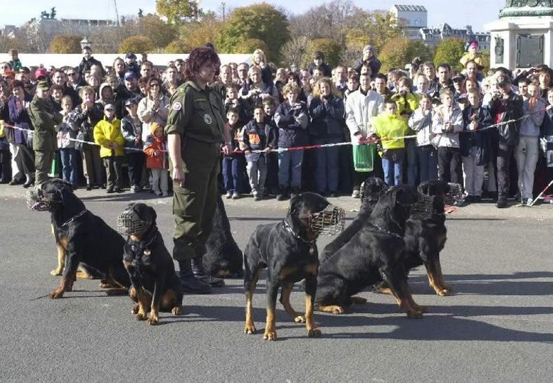 Rottweilers Are Built Like German Tanks