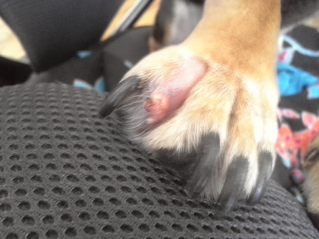 Growth and Fleshy Things With Redness Coming From Between My Dogs Pads-monksfoot.jpg