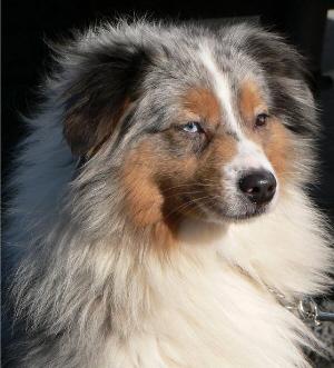 Any Australian Shepherd Owners?-moodysface-201-23-08.jpg