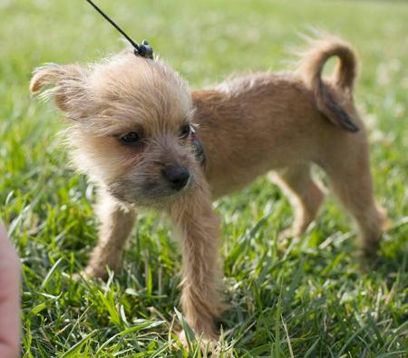border terrier chihuahua mix