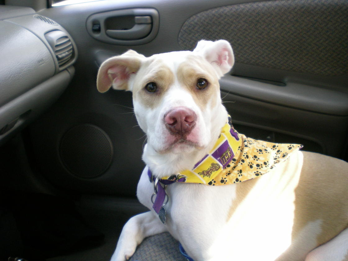 What Pit Bull mix Breed Do you think Chloe Is?-nycetc-202.jpg