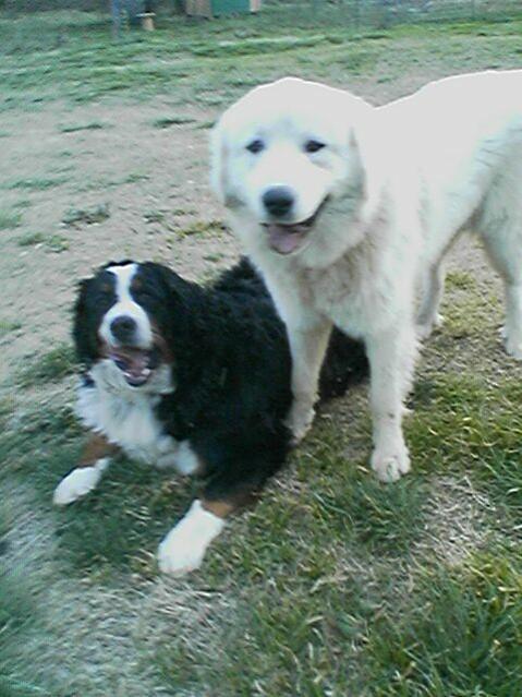 Anatolian Shepherd Mix Puppy