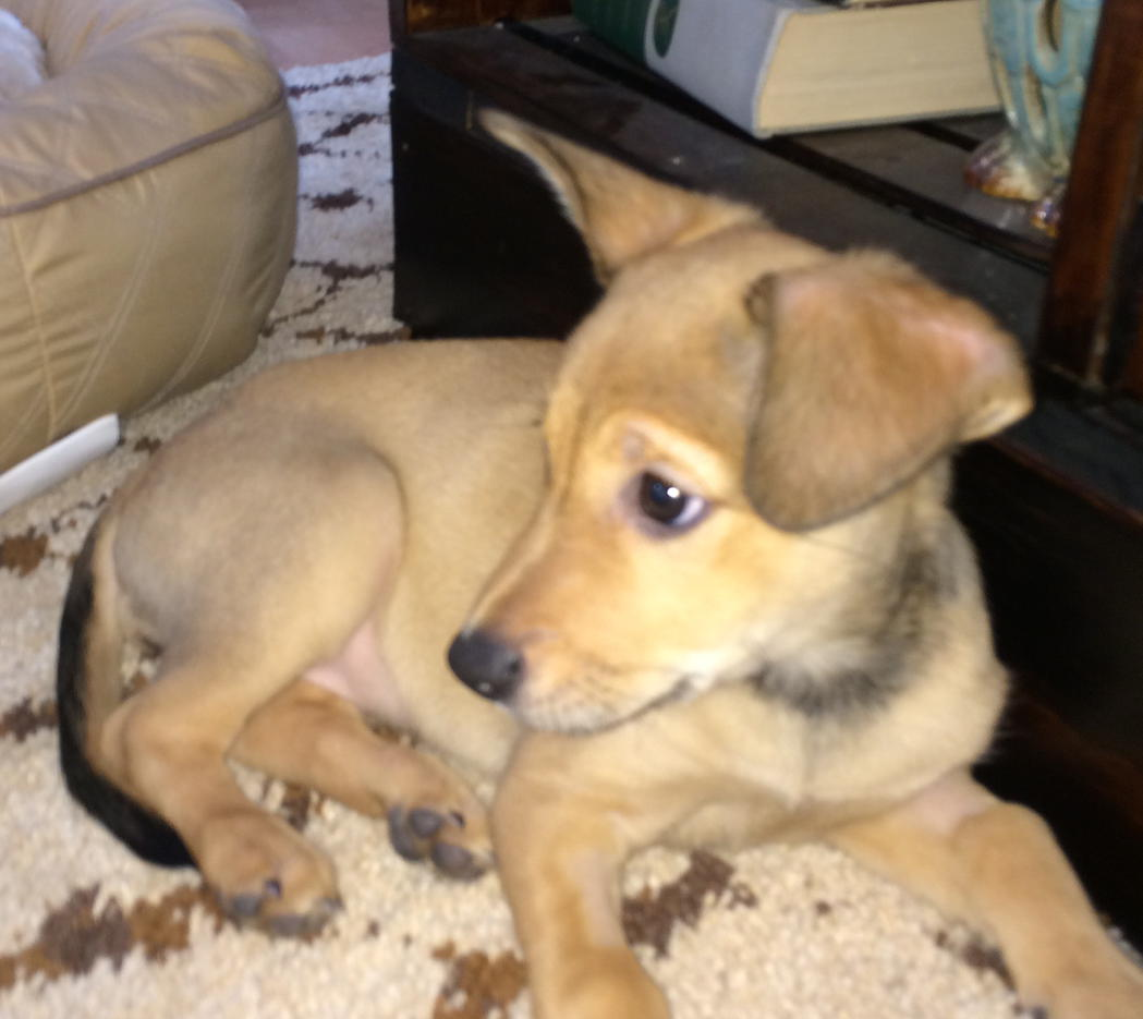 My New Mutt Puppy Help Me Figure Out The Breeds