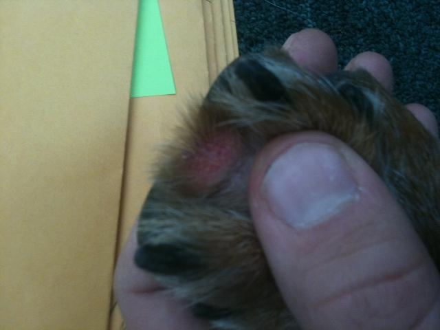 dog paw irritation between toes.