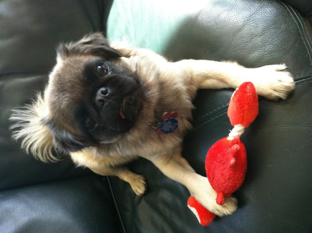 long haired pug?-photo.jpg