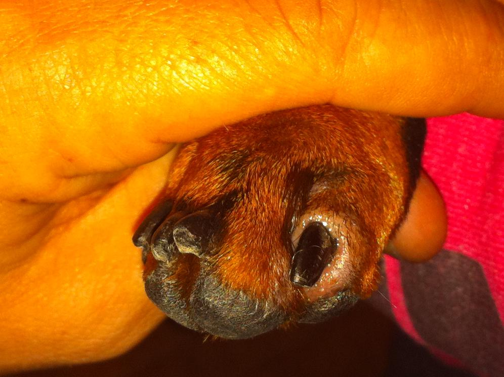 Sore surrounding dogs nail..Any ideas on possible causes? (pic included)