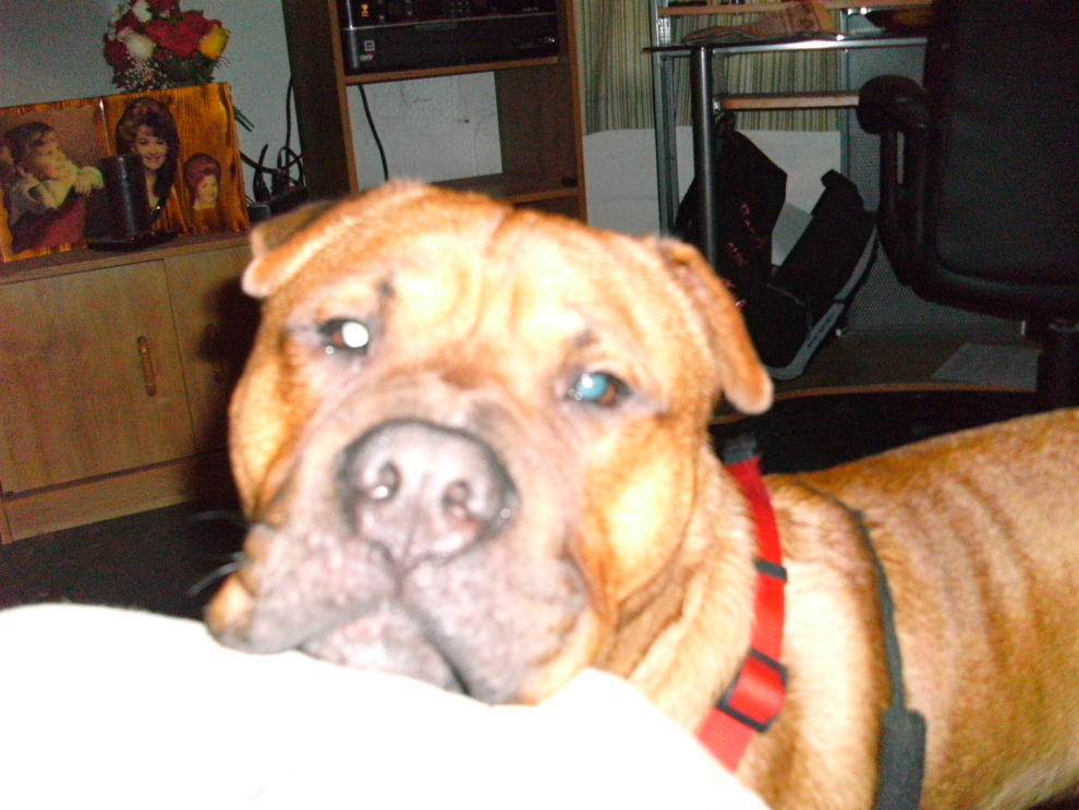 Shar-pei/lab mix?  Or Shar-pei/pit-picture-044.jpg