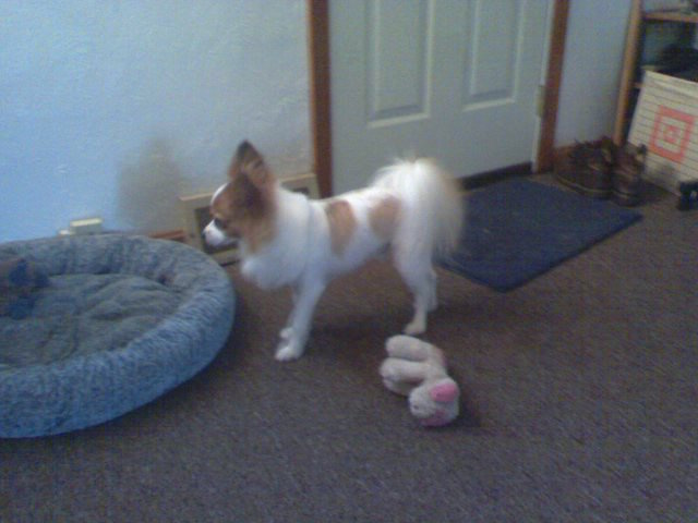 A Shaved Papillon!-pipcut2.jpg