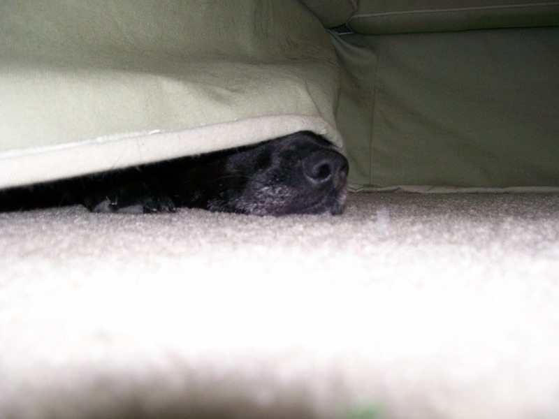 Why does my dog go under the couch so much?-prom001.jpg