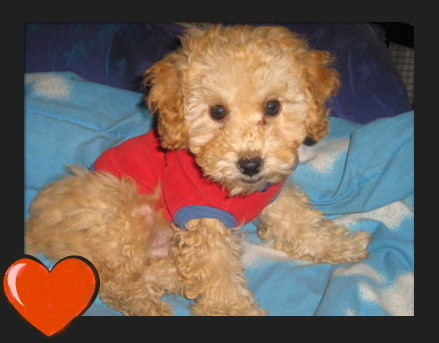Poodle Cut-pup-309.jpg