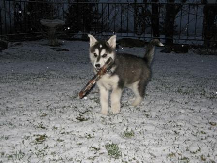 New Husky/Malamute mix pup...