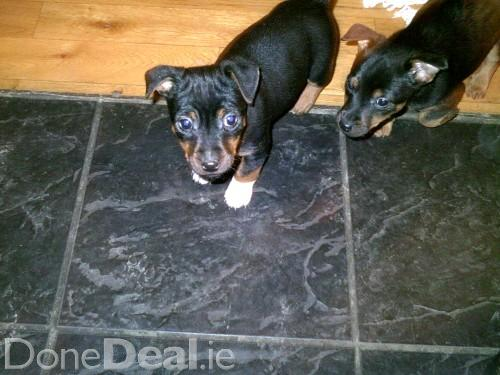 Jack russell terrier black and tan puppy