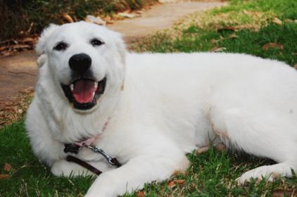 Hair cut for a Great Pyrenees-pyrrha.jpg